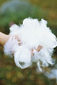 Hand holding goose feathers and down
