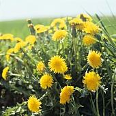 Flowering dandelions in a field