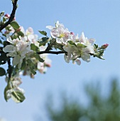 Apple blossom on branch (variety: Rheinischer Krummstiel)