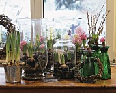 Hyacinths in various containers on a window sill