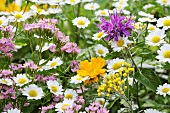 Marigolds, feverfew and centaurium