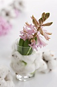 A pink hyacinth in a glass wrapped in cotton wool