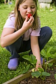 A girl eating a strawberry on the plant