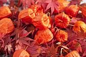 Lampionblumen und Ahornblätter