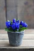 Gentianas in a flower pot