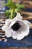 A white anemone