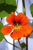 Nasturtium (close-up)