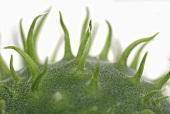 Detail of a wild cucumber