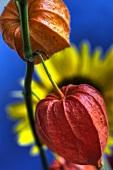 Judenkirsche vor Sonnenblume