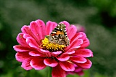 A butterfly on a pink zinnia