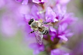 Bee on purple loosestrife flowers