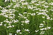 Yarrow in grass