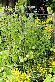 Tomato plants in garden
