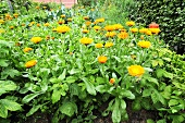 Marigolds in herb garden