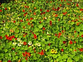Nasturtiums with flowers in the field