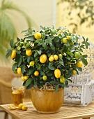 Kumquat plant in flowerpot (Citrus x Fortunella Lemon)