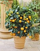 Kumquat plant in flowerpot (Citrus x Fortunella Mandarin)