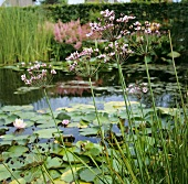 Garden pond with flowering rush (Butomus umbellatus) & water lilies (Nymphaea odorata)