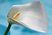 A white calla lily against a blue background