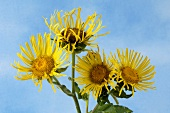 Elecampane (Inula helenium) against a blue background