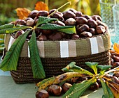 Basket of chestnuts and chestnut leaves