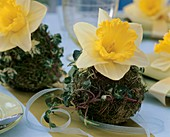 Narcissi in moss balls (table decoration)