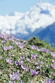 Flowering saffron near Mund (Valais, Switzerland)