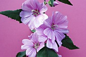 Pink mallow flowers (Silver cup)