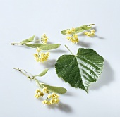 Lime flowers and lime leaf