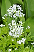 Ramsons (wild garlic) with flowers
