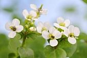 Flowering watercress