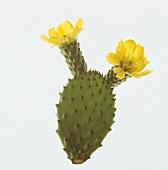 Flowering prickly pear (Opuntia vulgaris)