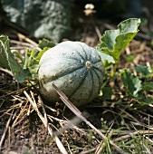 Eine Charentais-Melone an der Pflanze