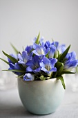 A bouquet of gentiana