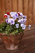 Pansies in flowerpot