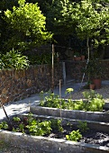 Lettuce and herbs in a garden