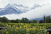 Vineyard with Falknis in background, Maienfeld, Graubünden, Switzerland