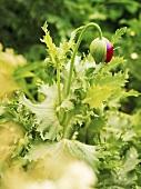 A poppy bud in a garden