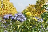 Blühende Phacelia (Bienenweide) in einer Rebzeile, Pfalz, Deutschland