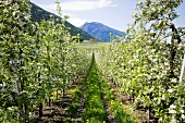 Apple blossom in Vinschgau, S. Tyrol