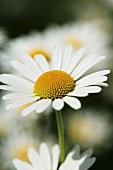 Marguerites (close-up)