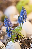 Grape hyacinths in eggshells with toy workman