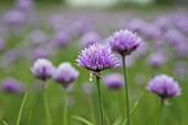 Blühender Schnittlauch (Aussen)