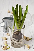 Hyacinth with bulb and roots