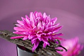 Pink dahlia with vanilla pods