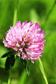 Clover flower (close up)