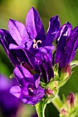Knäuelglockenblume (blühend)