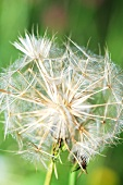 Meadow Salsify, showy goat's beard (close up)