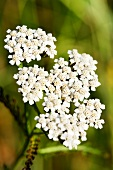 Achillea, yarrow (close up)