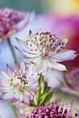 Masterwort (Astrantia major rubra, close-up)
